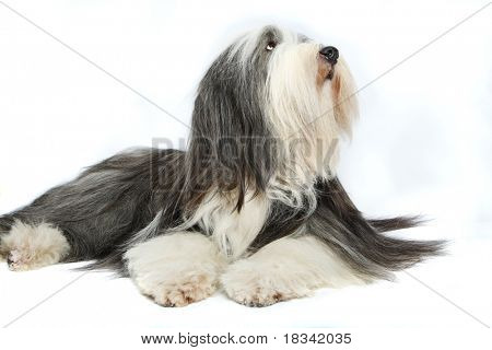 Bearded Collie, 4 years old, of white background poster