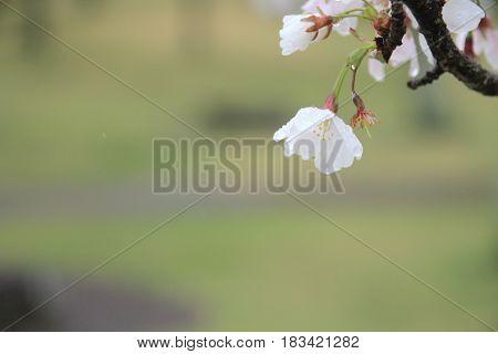 Cherry Blossoms In Sakura No Sato, Izu, Shizuoka, Japan (rain Drop)