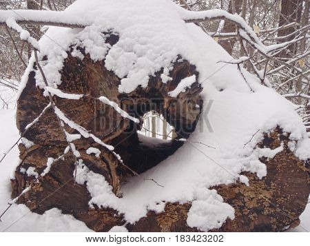 This wonderful hollow log lies in the forest unable to make the grade for sawing.
