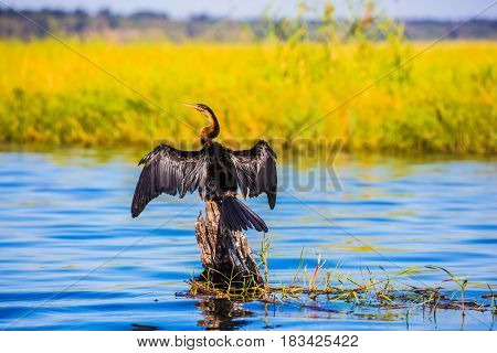Big Bird wings opened sitting on a tree among water. African cormorant dries its wings. Chobe National Park on the Zambezi River, Botswana. The concept of extreme tourism