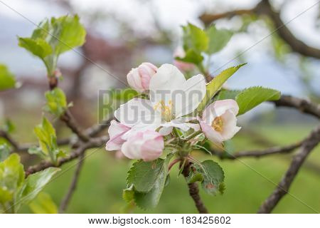 blooming apple tree closeup flowers and green leaves