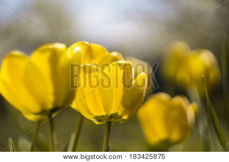 yellow tulips with blur background and green grass in spring
