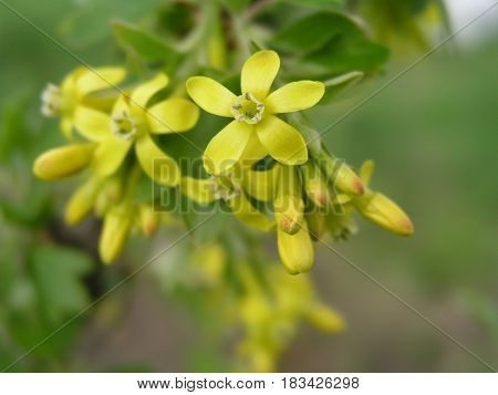 yellow currant, clove currant, pruterberry and buffalo currant yellow flowers on a bush in early spring. Honey plants of Ukraine Europe
