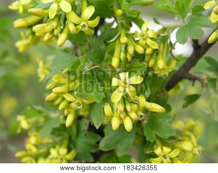 Ribes aureum yellow currant, clove currant, pruterberry and buffalo currant yellow flowers on a bush in early spring. Honey plants of Ukraine Europe