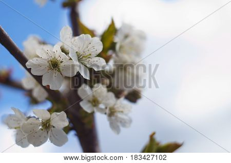 blossom branch of apple tree with blur background of blue sky