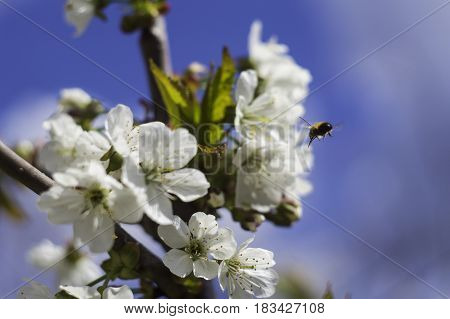 bee fly to blossom branch of apple tree with blur background of blue sky