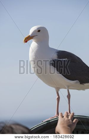 Child reaching to touch a Sea Gull at the coastal cove