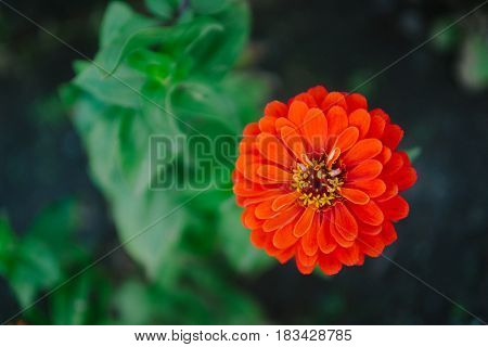 red flower zinnia on a green background