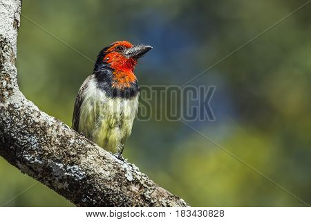 Black collared barbet in Kruger national park, South African ; Specie Lybius torquatus family of Ramphastidae