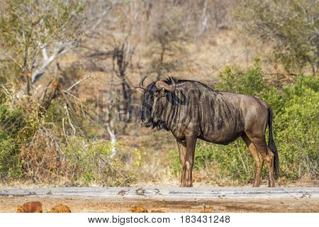 Blue wildebeest in Kruger national park, South African ; Specie Connochaetes taurinus family of Bovidae
