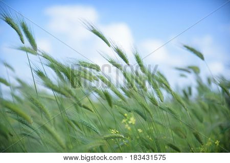 Windy Uncultivated Barley Fields