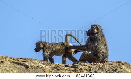 Chacma baboon in Kruger national park, South African ; Specie Papio ursinus family of Cercopithecidae