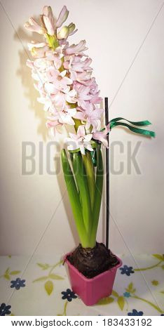 Pink hyacinth flower nature plant in pot macro photo
