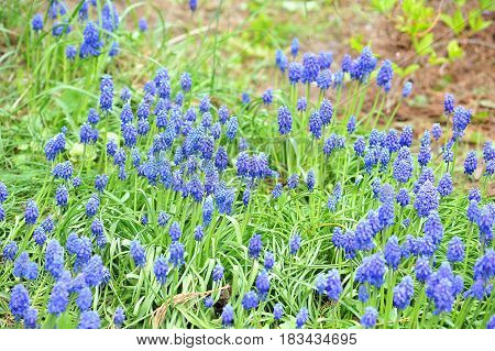 Small blue spring flowers on sunshine outdoors. Spring floral background with blossoming blue Muscari flowers.