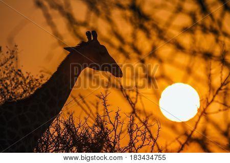 Giraffe in Kruger national park, South African ; Specie Giraffa camelopardalis family of Giraffidae