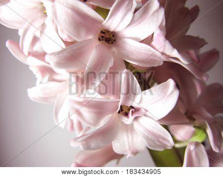 Pink hyacinth flower nature plant macro photo
