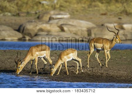 Common impala in Kruger national park, South African ; Specie Aepyceros melampus family of Bovidae
