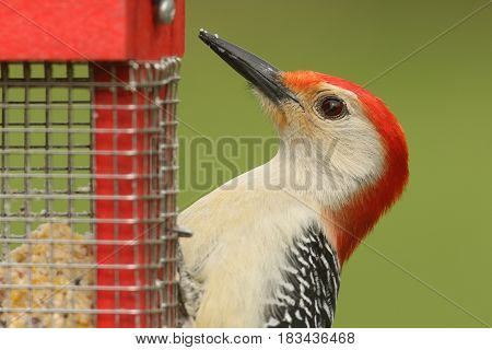 Male Red-bellied Woodpecker (Melanerpes carolinus) on a suet feeder
