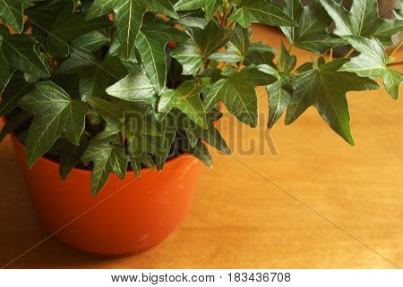 Closeup view of a healthy Ivy houseplant.