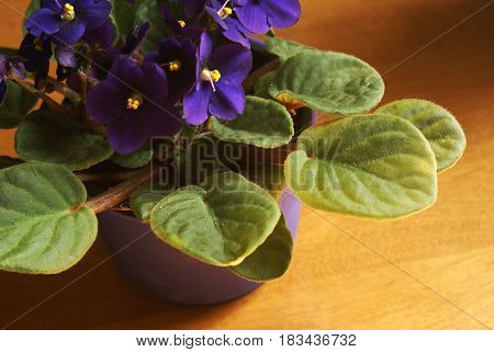 An indoor African Violet in full bloom during the sunlight hours.