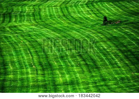 Lush gren grass growing in park with lone pine tree