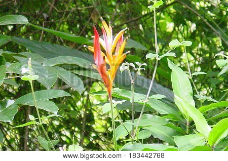 Blooming Flower in Nature in Maui,Hawaii Jungle