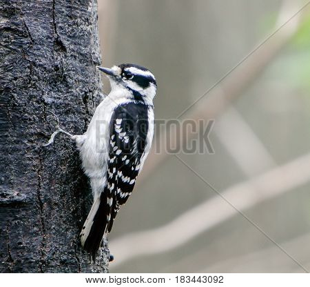 Female Downy Woodpecker situated on a tree.