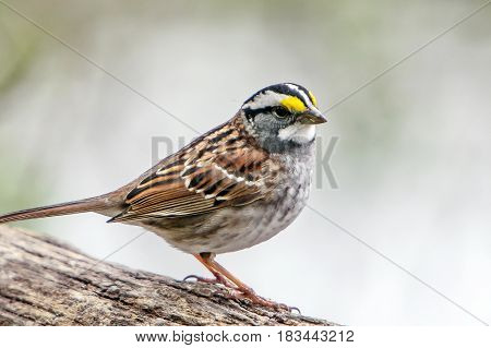 White-throated Sparrow perched on a log .