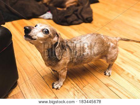 Old Dachsund Dog Barking