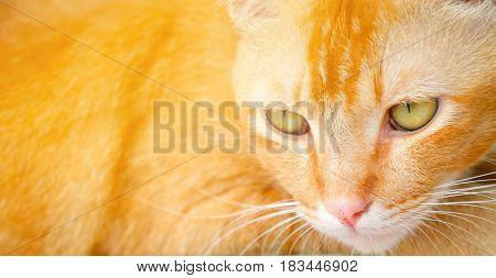 close up orange cat on table background