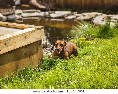 Cute adult dachsund or weiner dog licking and eating green grass while standing in a yard. Pond and raised garden nearby.