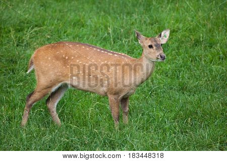 Indian hog deer (Hyelaphus porcinus).