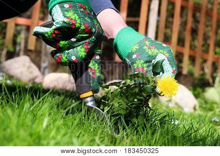 A man pulling dandelion / weeds out from the grass loan