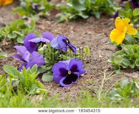Viola tricolor or kiss-me-quick (heart ease flowers)