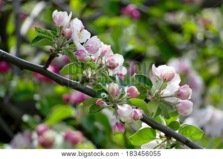Young leaves and flowers of an apple tree on a blurred background.