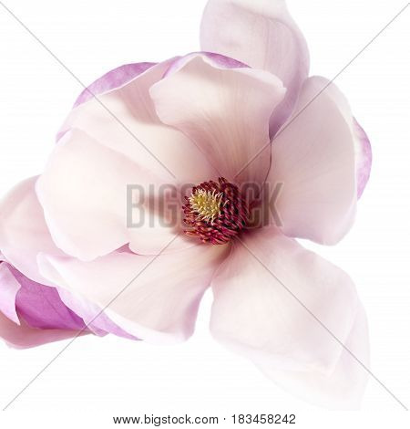 Pink flower of magnolia isolated on white background