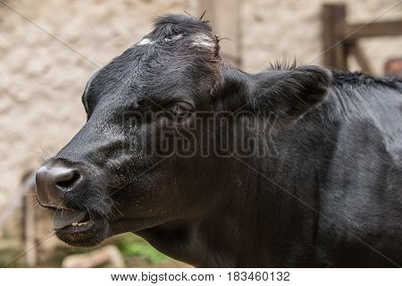Black cow / Cow in the barn