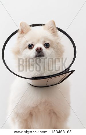 White Pomeranian with protective collar