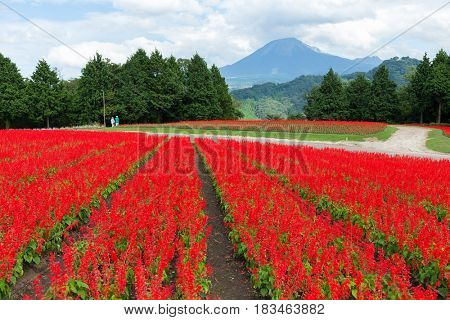 Salvia field and mount Daisen