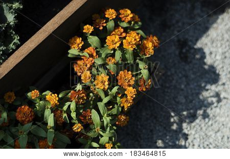 Orange Zinnia Flower Blooming Botanical