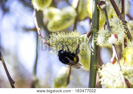 close-up of bumble-bee on the willow catkins