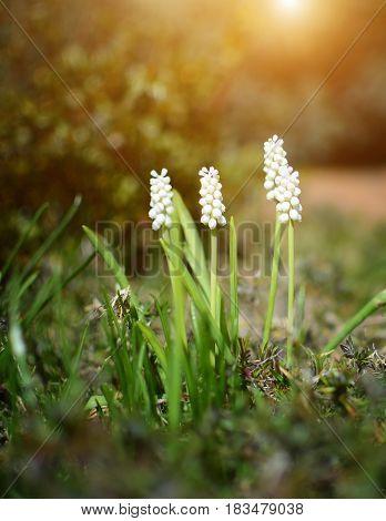 White Flower In Rock Garden. Muscari Album.