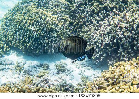 Desjardin's Indian sailfin tang ( zebrasoma desjardinii ) being cleaned by Bluestreak cleaner wrasse ( Labroides dimidiatus )