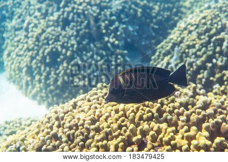 Desjardin's Indian sailfin tang ( zebrasoma desjardinii ) swimming around the reef