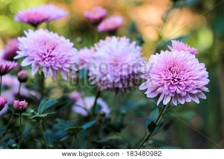 Flowers of lilac chrysanthemums on a green background