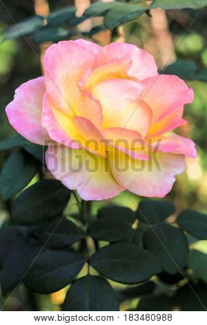 Yellow pink lush rose on a green background