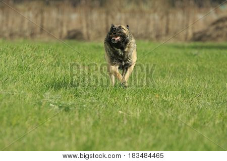 German Shepherd runs fast by a green grass with a stick in it's teeth