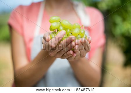 Mid section of farmer holding grapes at vineyard