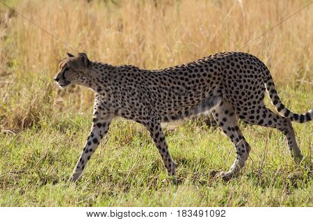 A feral cat walks across the Savannah