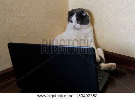 Serious cat sitting in front of laptop on the floor and stares at the monitor